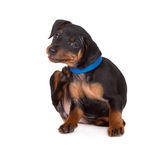 Black miniature pinscher puppy. Miniature pinscher puppy on white royalty free stock photography