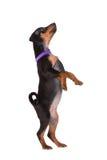 Black miniature pinscher puppy Stock Image