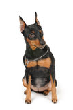 Miniature Pinscher sits on white background. Black Miniature Pinscher sits on white background stock photos