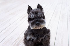 Black miniature schnauzer Stock Images