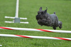 Black Miniature Schnauzer at a Dog Agility Trial. Black Miniature Schnauzer Leaping Over a Jump at a Dog Agility Trial Royalty Free Stock Photos