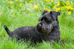 Black Miniature Schnauzer Dog Royalty Free Stock Photos