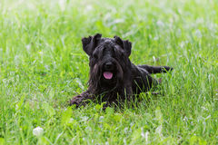 Black miniature schnauzer dog lying on green grass. Black purebred miniature schnauzer dog lying on green grass outdoors at summer and looking at camera stock photography