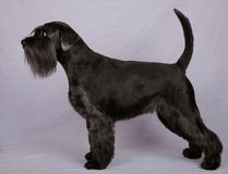 Black miniature Schnauzer Royalty Free Stock Photos