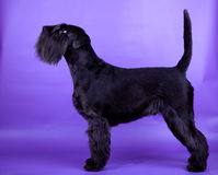 Black miniature Schnauzer Royalty Free Stock Photography