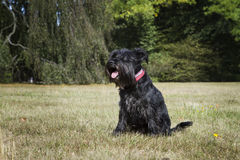 Black miniature Schnauzer in a park Royalty Free Stock Image