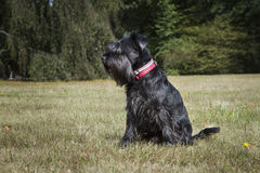 Black miniature Schnauzer in a park Stock Photography