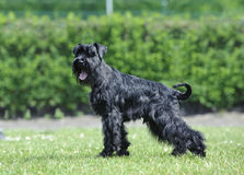 Black miniature schnauzer. In perfect pose stock images