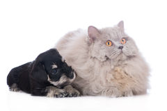 Black miniature schnauzer puppy and a fluffy cat Royalty Free Stock Image