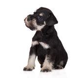 Black miniature schnauzer puppy stock images