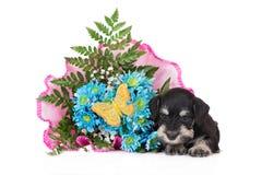 Black miniature schnauzer puppy royalty free stock image