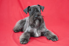 Black miniature schnauzer in red background Stock Images