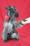 Black miniature schnauzer with a red bow tie shaking hand with owner Stock Images