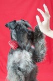 Black miniature schnauzer with a red bow tie shaking hand with owner Royalty Free Stock Photo