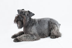 Black miniature schnauzer in white background Stock Photography
