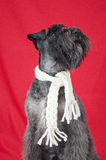 Black miniature schnauzer with a white scarf in red background Royalty Free Stock Photos