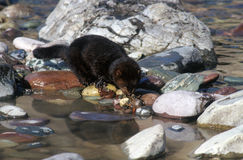 Black Mink. A wild mink drinking from a pond Royalty Free Stock Photos