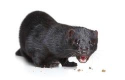 Black mink eat dry food Stock Photo