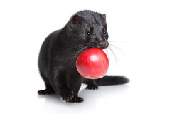 Black mink with red apple on white background Stock Photo