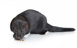 Black mink on white background Royalty Free Stock Photos