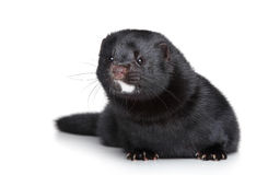 Black mink on white background Stock Images