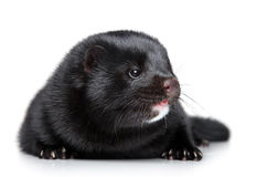 Black mink on white background Stock Photo
