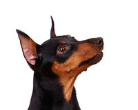 Black Minuture Pinscher Stock Image