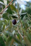A black Mission olive on a olive branch. stock photos