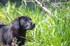 Black mix breed puppy among the field flowers Royalty Free Stock Image