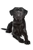 Black mixed breed dog Royalty Free Stock Photography