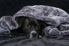 Black mixed breed dog with a blanket on black background stock photo