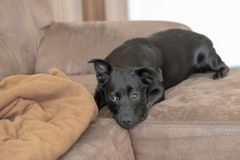 Black mixed breed dog on a couch royalty free stock image