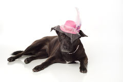 Black, Mixed Breed Dog with Fancy Fascinator Hat Royalty Free Stock Photo
