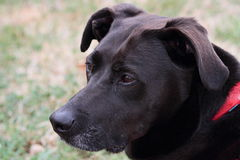 Black Mixed Breed Dog Outdoors Stock Image