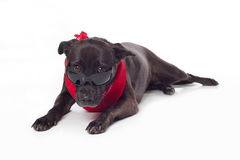 Black Mixed-Breed Dog Peering Over Sunglasses Royalty Free Stock Photo