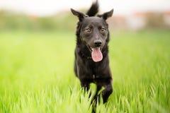 Black mixed breed dog Royalty Free Stock Image