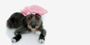 BLACK MIXED BREED DOG READY TO HAVE A BATH WEARING A BATHING CA stock photos