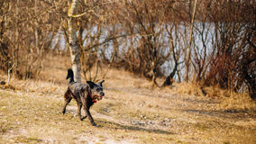 Black Mixed Breed Dog Running In Park In Spring Royalty Free Stock Photography