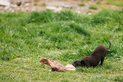 Black Mixed Breed Homeless Puppy Dog Drags On Grass Cow Bone. Stock Images