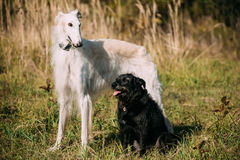 Black Mixed Breed and Hunting Dog and White Russian Borzoi, Borz Royalty Free Stock Photo