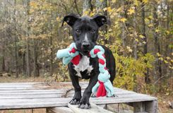Black mixed breed puppy dog with chew toy rope stock photos