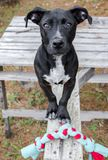 Black mixed breed puppy dog with chew toy rope. Black mixed breed puppy dog. Outdoor adoption photograph for Walton County Animal Control shelter humane society royalty free stock image
