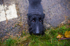 Black Mixed Terrier Dog Outdoors Royalty Free Stock Images