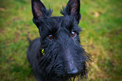 Black Mixed Terrier Dog Outdoors Stock Photo