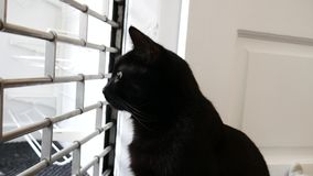 Black moggie cat in the window watching outside due to curiosity stock footage