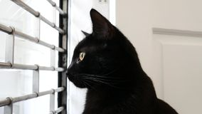 Black moggie cat in the window watching outside due to curiosity. In Aberdeen, UK stock video