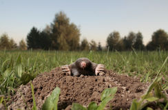 Black mole Stock Photography