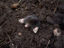 Black Mole in Black Soil Royalty Free Stock Photo
