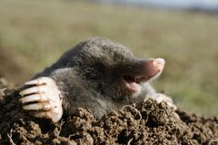 Black mole hungry Royalty Free Stock Photos
