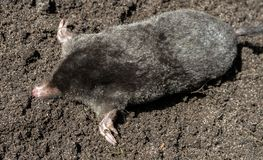 Black mole lies on a pile of excavated soil. Selective focus royalty free stock photo